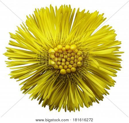 Yellow flower coltsfoot white isolated background with clipping path. Closeup. no shadows. Nature.