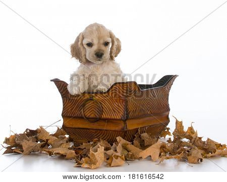 cocker spaniel puppy sitting inside a basket on white background