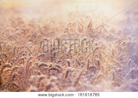 Wheat field in late sunny afternoon, harvest is expected to begin