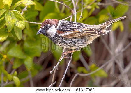 Spanish Sparrow In A Hedge In A Garden On Cyprus