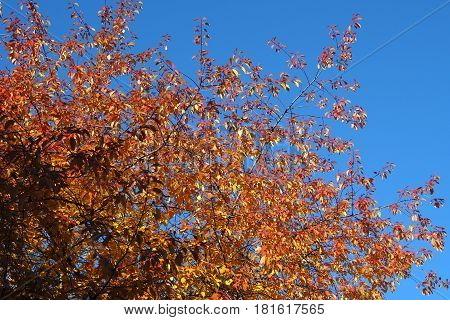 Golden autumn tree and blue sky background. Yellow leaves on branches with autumn coloring of nature.