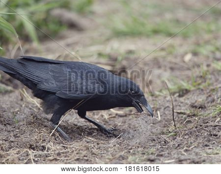 American crow standing on the ground and digging dirt