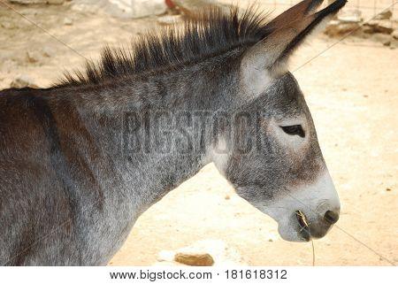 Cute wild donkey chewing on hay in Aruba.
