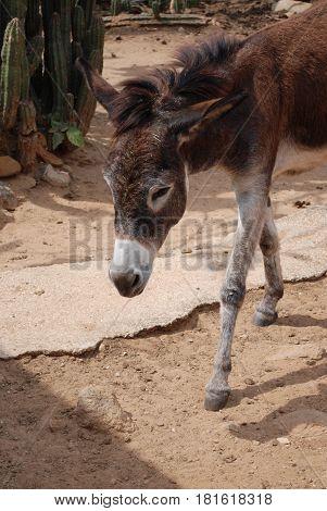 Cute brown wild donkey walking along in Aruba.