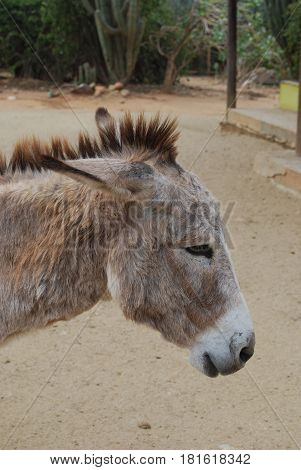 Aruban wild donkey with his ears pulled back.