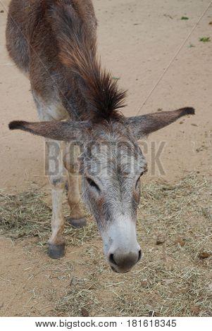 Really cute face of a wild donkey in Aruba.