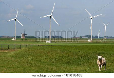 Lamb Near Wind Farm