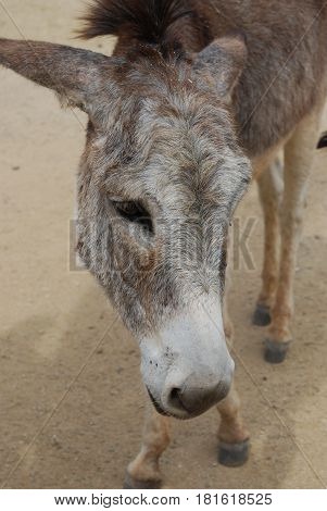Donkey with a very sweet face in Aruba.