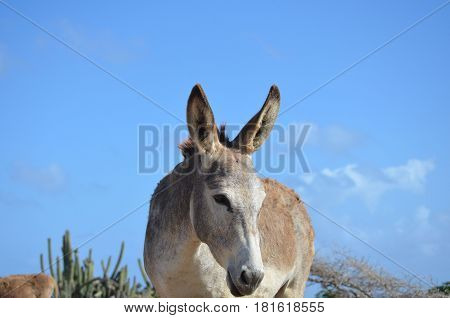 Gorgeous blue skies surrounding a wild donkey.