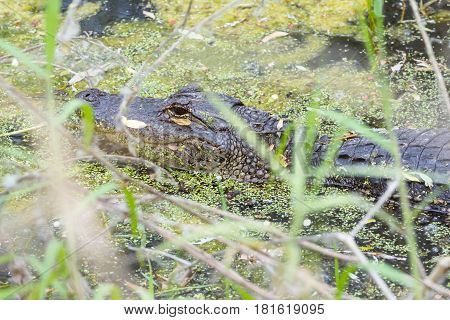 Young American Alligator partially covered by grasses