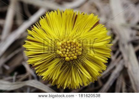Spring yellow flower of coltsfoot on a background of dry grass. Close-up. Nature