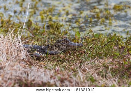 Baby alligator in a grassy area next to a marsh shoreline