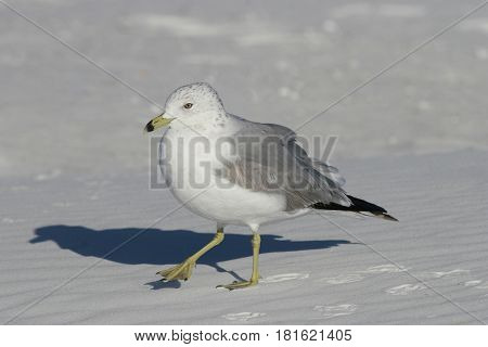 A Ring-Billed Gull, Larus delawarensis walking on a white sand beach in Florida