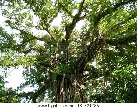 Upper part of Fig tree in Rota jungles, Rota Upper part of a giant tree