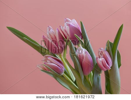 bouquet Beautiful Tulips gently pink color Spring time