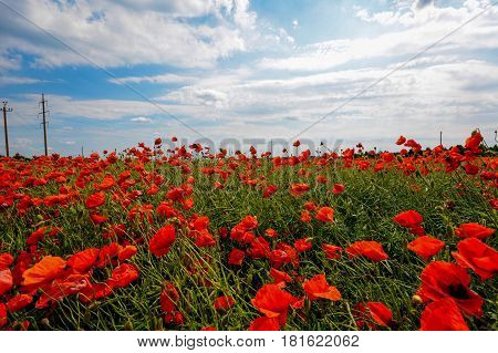 Field of common poppies - Papaver rhoeas - in Estonia in windy weather, with cloudy sky