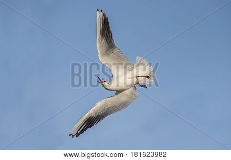 Black Headed Gull Flying, Close Up, With An Open Beak