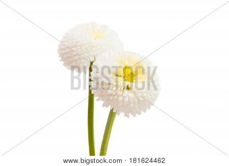 marguerite flowering object isolated on white background