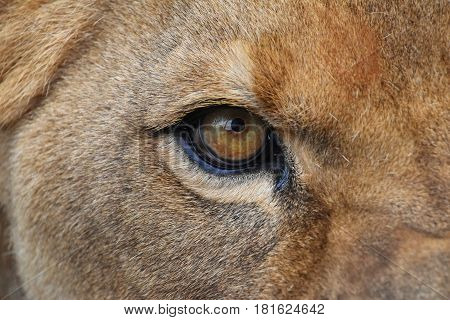 Eye Of The Lioness Extreme Close Up