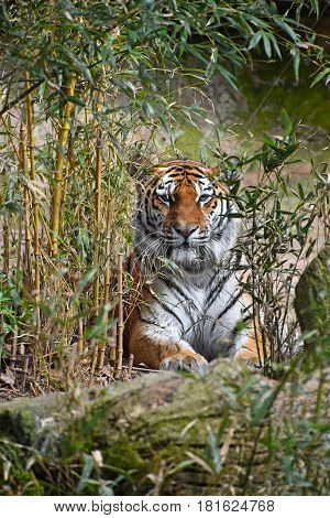 Tiger Hiding In Bamboo Jungle