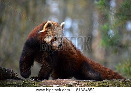 Red Panda Portrait On Tree