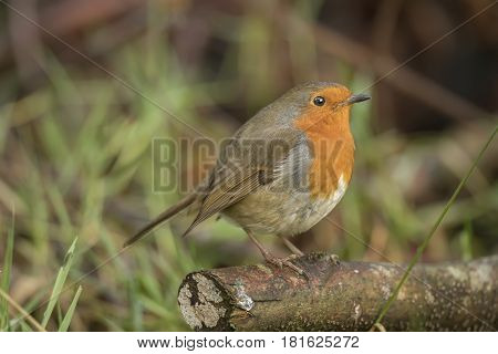 Robin redbreast perched on a branch, close up