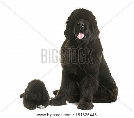 puppy and adult newfoundland dog in front of white background