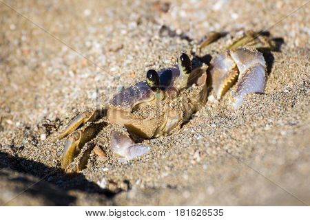 A fully grown sand crab pauses in the sand as he waits for a threat to disappear. The sun was beginning to warm the air so he was eager to get on his way in scavenging for food before departing into his burrow to avoid the high daytime temperatures.