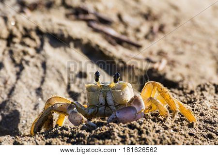Sand/ghost crab seen at Playa Yaguanbo in the province of Cienfuegos Cuba.