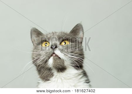 Gray fluffy cat with white breast and long mustache portrait