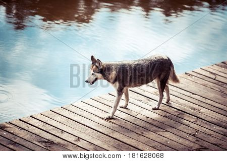 Husky is on the pier near the water and