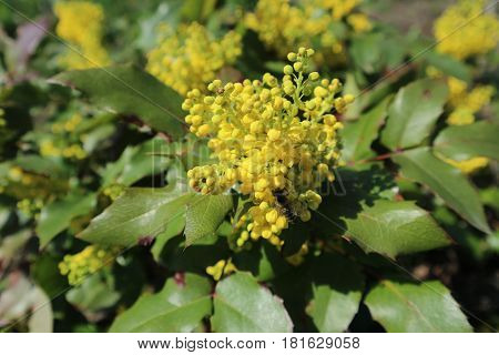 Mahonia aquifolium yellow flowers with bee on a spring day.