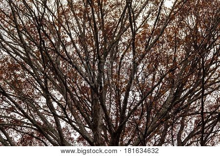 Texture of the bare branches of the autumn oak tree on the background of the overcast sky