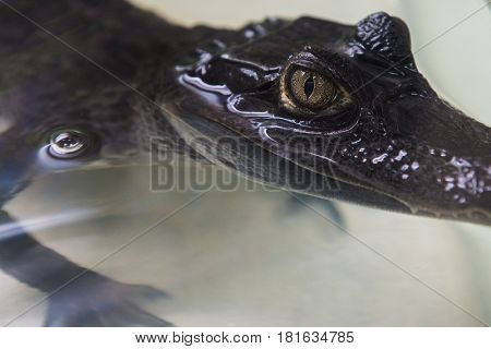 Beautiful caiman crocodile closeup portrait poster