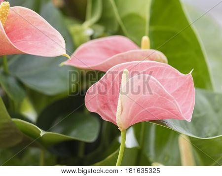 pink anthurium in the vase in spring