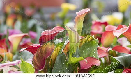 Colored Calla Lily In The Garden