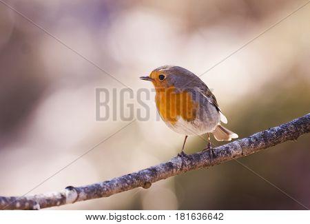 a cute  robin redbreast on a twig