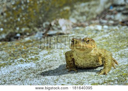 Green true toad sitting on the gray asphalt road