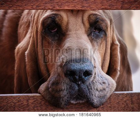 Sad bloodhound staring through a wood fence.