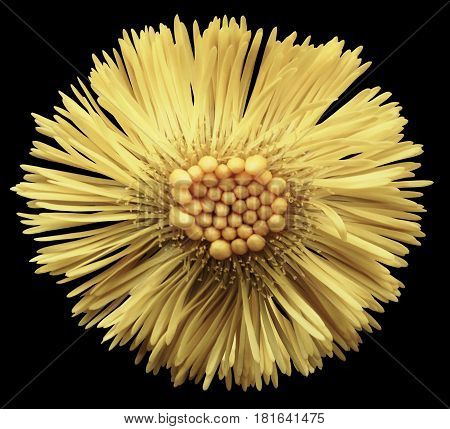 Yellow flower coltsfoot black isolated background with clipping path. Closeup. no shadows. Nature.