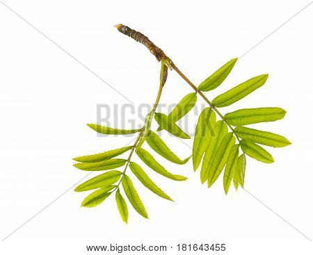 Branch of spring rowanberry with newly blossomed green leaves isolated on white background