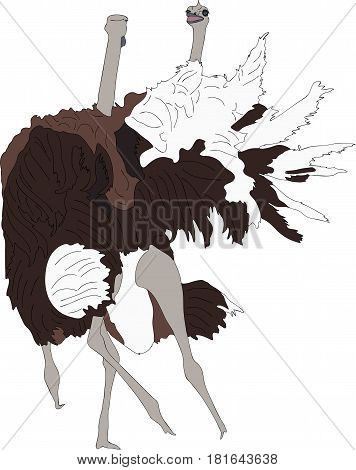 Portrait of two fighting ostriches - colored hand drawn vector Illustration isolated on white background