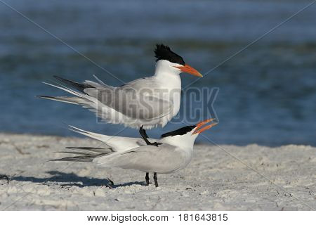 Two Royal Terns, Thalasseus maximus in a courtship display prior to mating