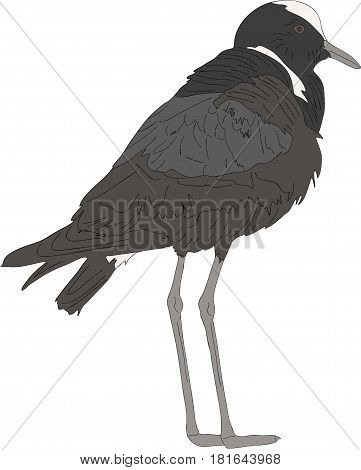 Portrait of a Blacksmith Lapwing on the ground  - colored hand drawn vector Illustration isolated on white background