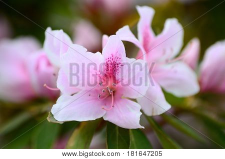 Pink Azalea flowers soft focus with blurry background