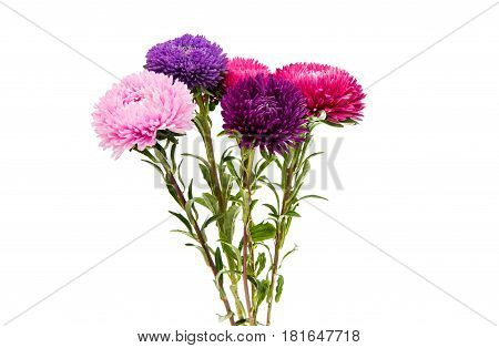 Aster Colourful flower isolated on white background