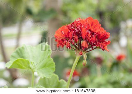 Renovación de una flor roja en jardin