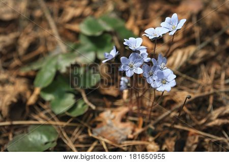 First Blue Spring Flowers In The Forest. Primrose Snowdrops On The Leaves. Hepatica Nobilis. Close U