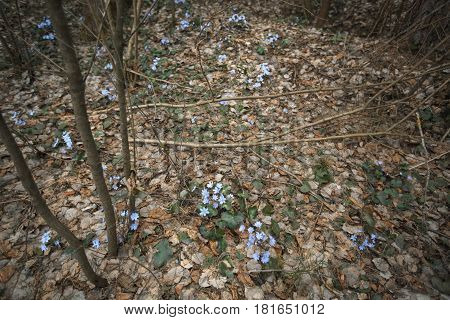 First Blue Spring Flowers In The Forest. Primrose Snowdrops On The Leaves. Hepatica Nobilis.