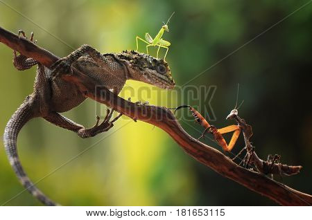Lizard helping little mantis for attacking great mantis